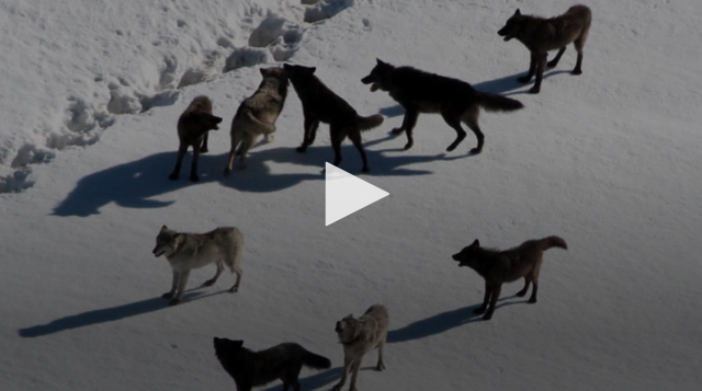 VIDEO: Disrupting Ecosystems with Wolves