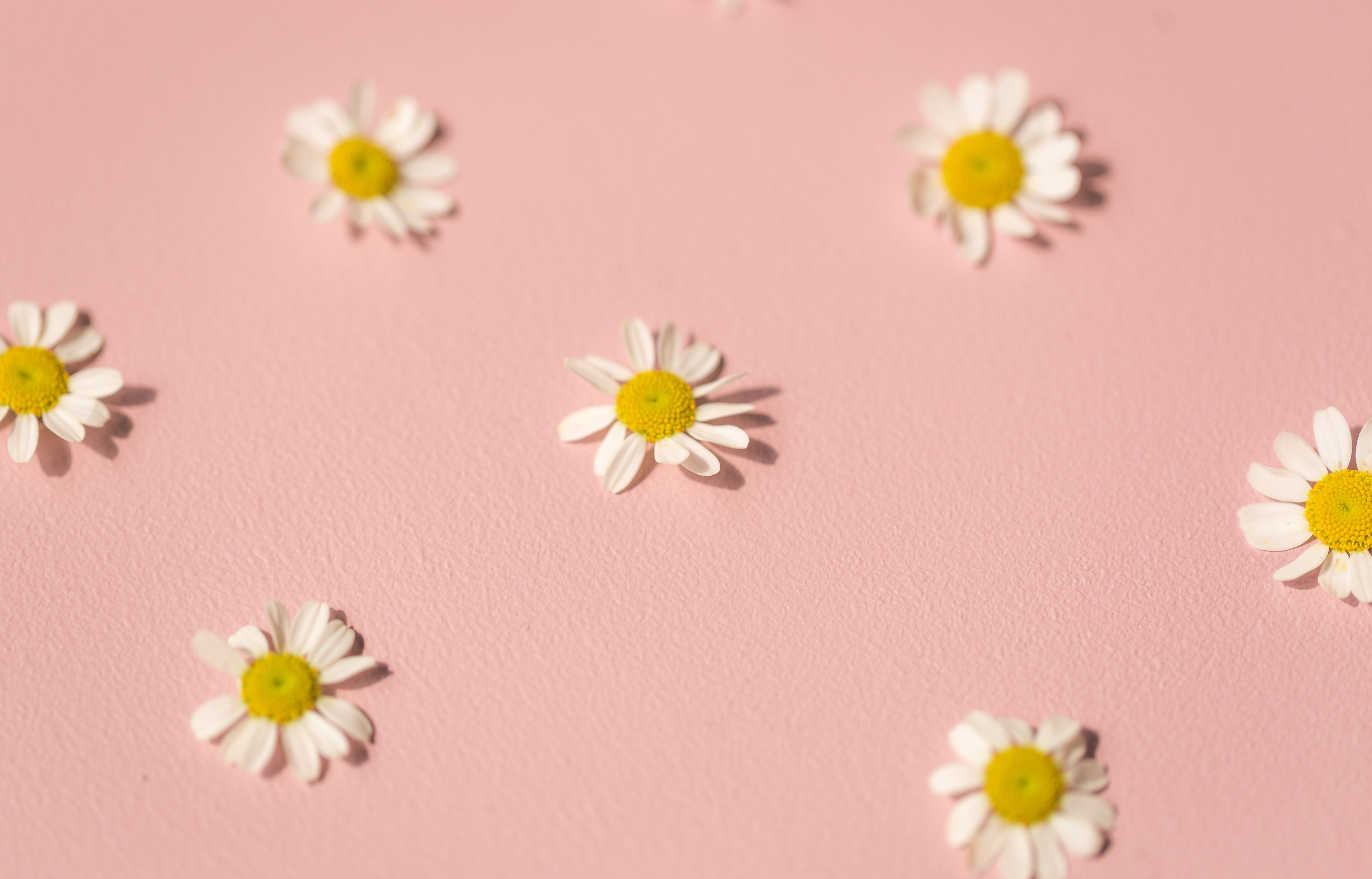 daisies-on-pink